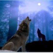 Ma il lupo della notte dove è finito?
