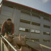 Crudeltà in un allevamento di maiali